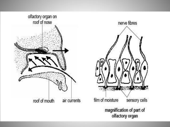 Vertebrates and Smell