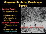 componenti della membrana basale1