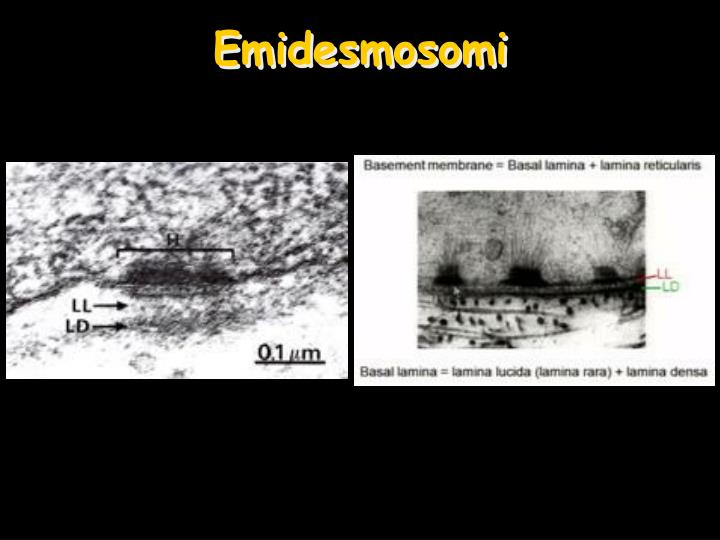 Emidesmosomi