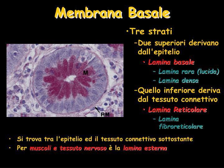 Si trova tra l'epitelio ed il tessuto connettivo sottostante