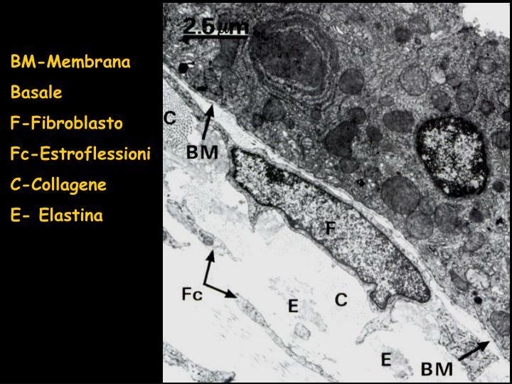 BM-Membrana Basale