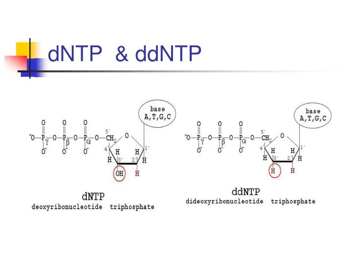 dNTP  & ddNTP