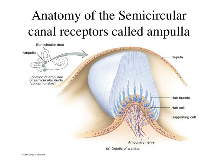 Anatomy of the Semicircular canal receptors called ampulla