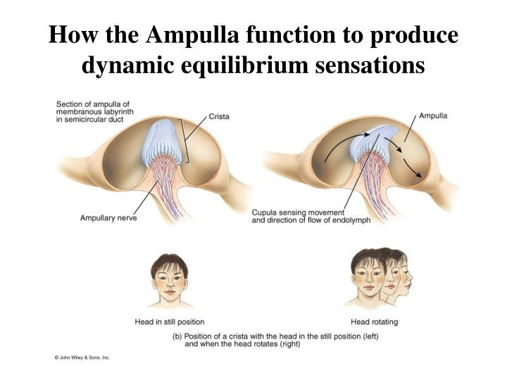 How the Ampulla function to produce dynamic equilibrium sensations