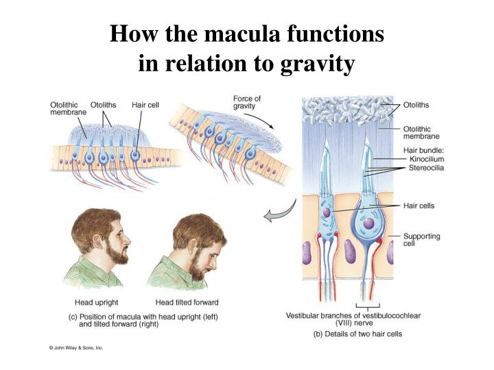 How the macula functions