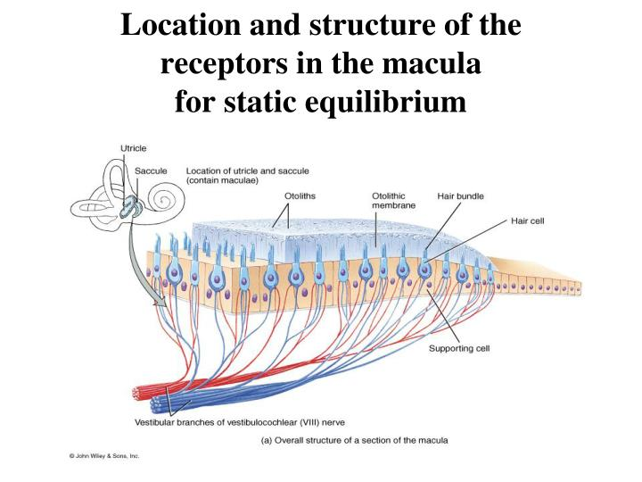 Location and structure of the receptors in the macula