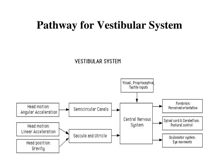 Pathway for Vestibular System