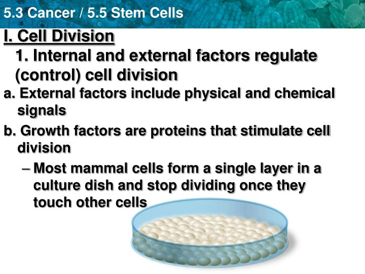 I cell division 1 internal and external factors regulate control cell division