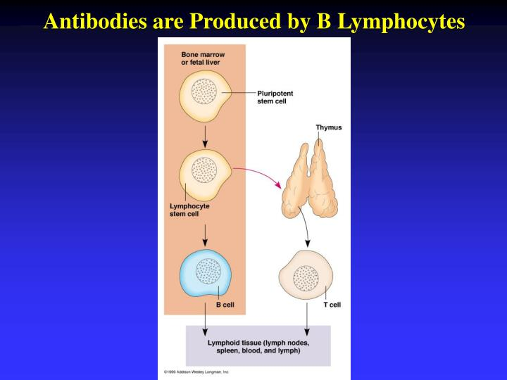 Antibodies are Produced by B Lymphocytes