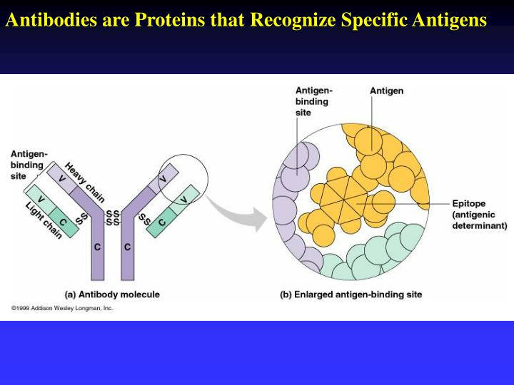 Antibodies are Proteins that Recognize Specific Antigens
