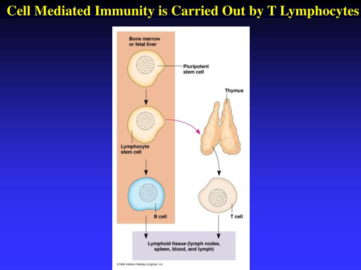 Cell Mediated Immunity is Carried Out by T Lymphocytes