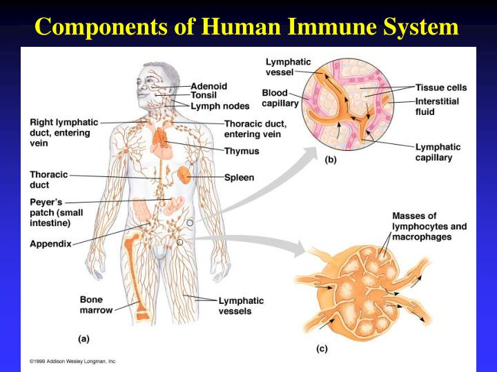 Components of Human Immune System