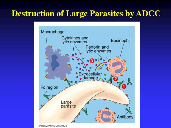 Destruction of Large Parasites by ADCC