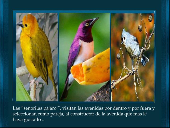 """Las """"señoritas pájaro """", visitan las avenidas por dentro y por fuera y seleccionan como pareja, al constructor de la avenida que mas le haya gustado .."""
