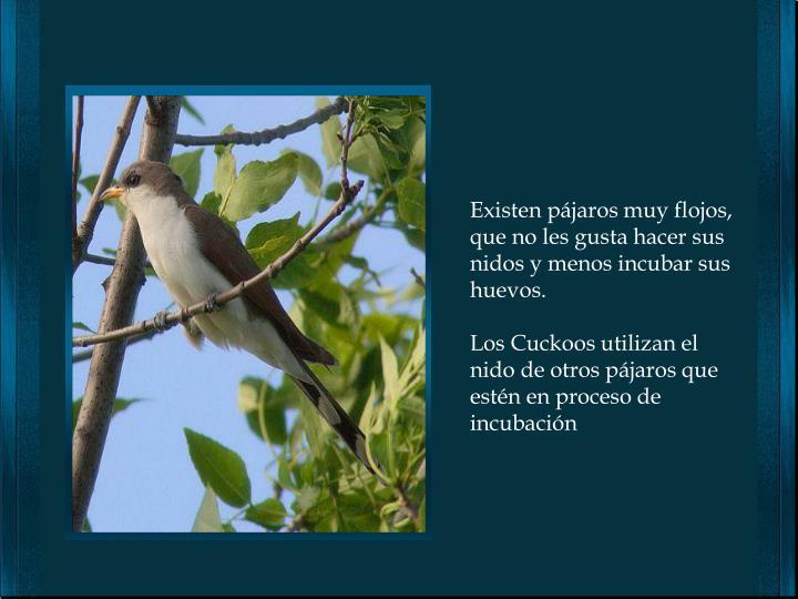 Existen pájaros muy flojos, que no les gusta hacer sus nidos y menos incubar sus huevos.