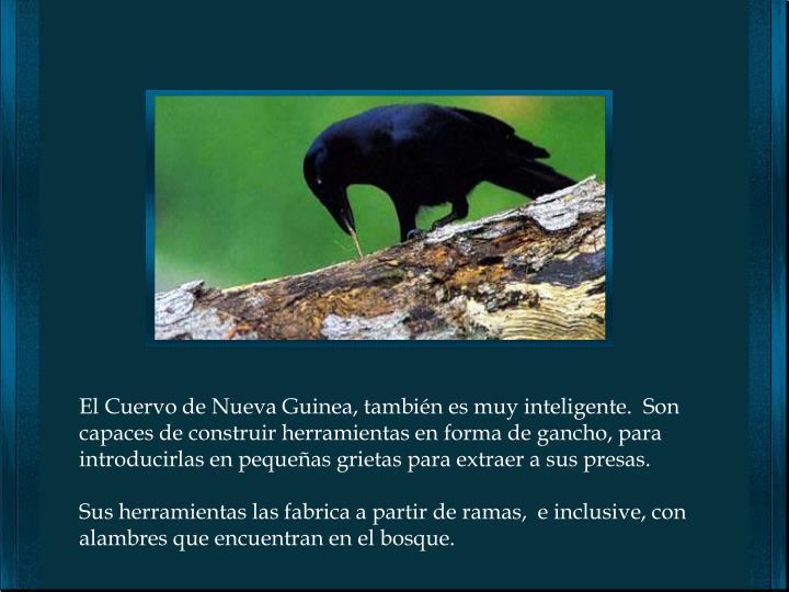 El Cuervo de Nueva Guinea, también es muy inteligente.  Son capaces de construir herramientas en forma de gancho, para introducirlas en pequeñas grietas para extraer a sus presas.