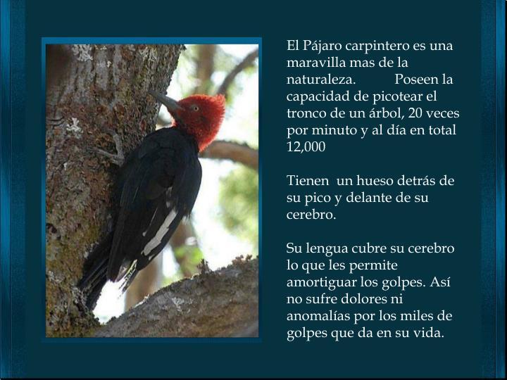 El Pájaro carpintero es una maravilla mas de la naturaleza.