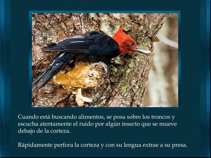 Cuando está buscando alimentos, se posa sobre los troncos y escucha atentamente el ruido por algún insecto que se mueve debajo de la corteza.