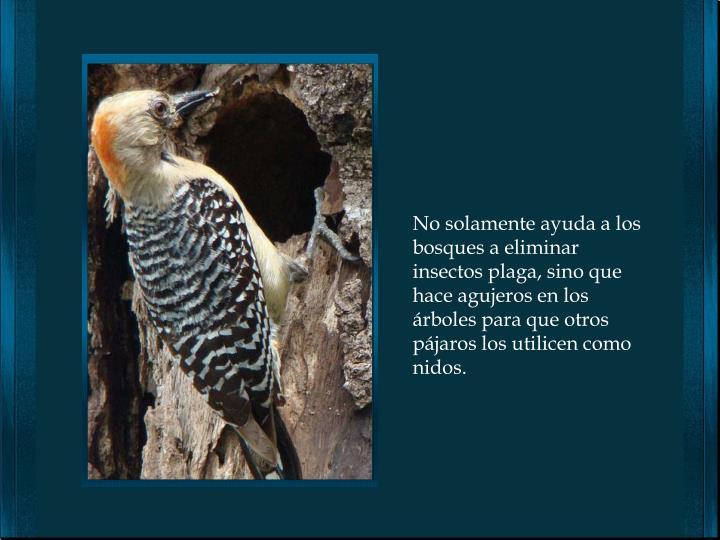 No solamente ayuda a los bosques a eliminar insectos plaga, sino que hace agujeros en los árboles para que otros pájaros los utilicen como nidos.