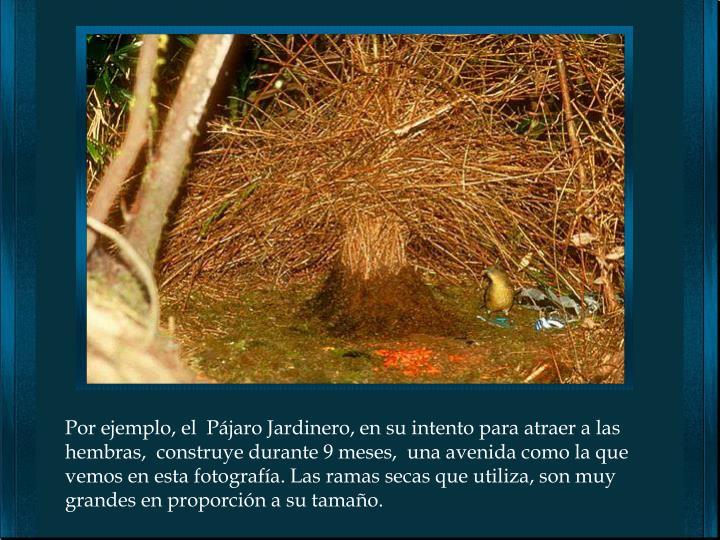 Por ejemplo, el  Pájaro Jardinero, en su intento para atraer a las hembras,  construye durante 9 meses,  una avenida como la que vemos en esta fotografía. Las ramas secas que utiliza, son muy grandes en proporción a su tamaño.