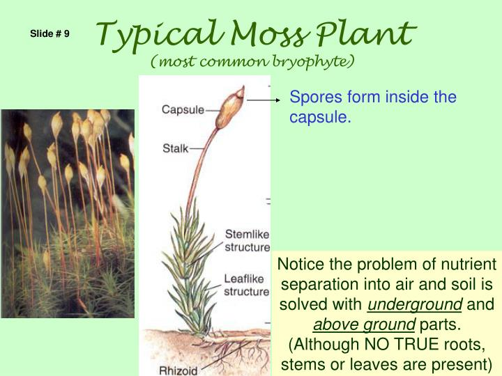 Typical Moss Plant