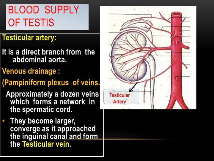 Blood  Supply of Testis