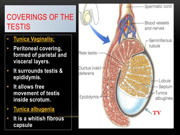 Coverings of the Testis
