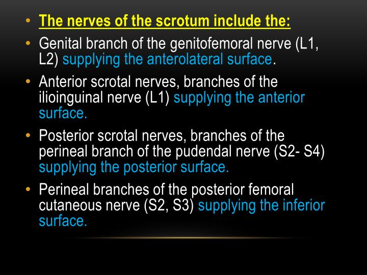 The nerves of the scrotum include