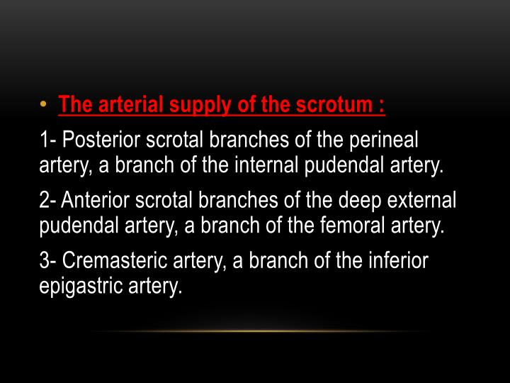 The arterial supply of the scrotum :