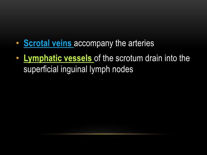 Scrotal veins