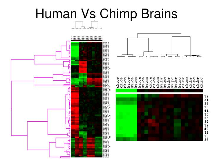 Human vs chimp brains