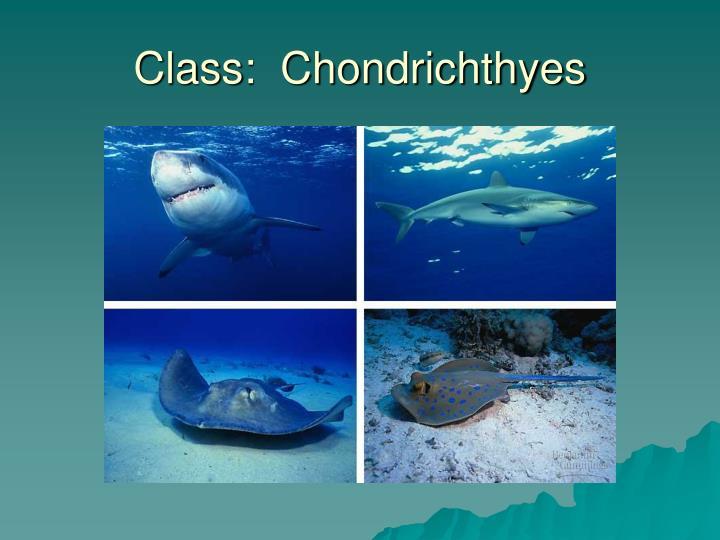 Class:  Chondrichthyes