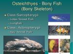 osteichthyes bony fish bony skeleton
