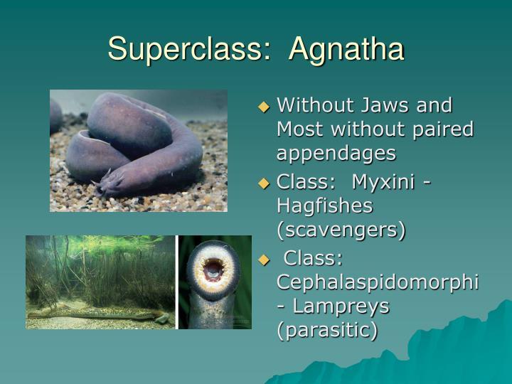 Superclass:  Agnatha