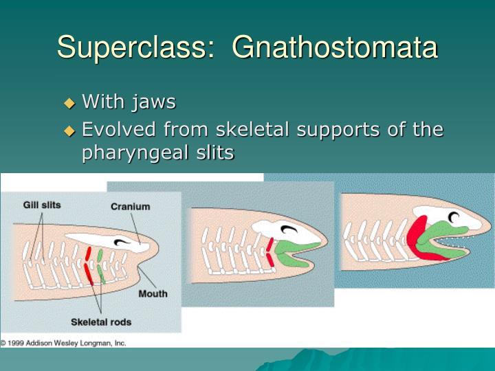 Superclass:  Gnathostomata