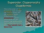 superorder clupeomorpha clupeiformes