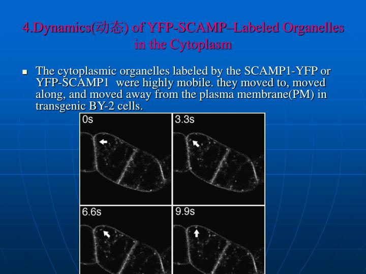 4 dynamics of yfp scamp labeled organelles in the cytoplasm