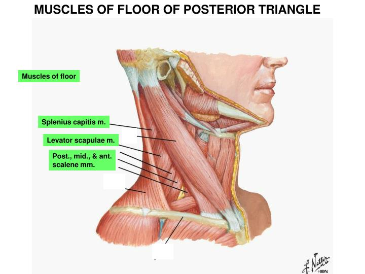 MUSCLES OF FLOOR OF POSTERIOR TRIANGLE