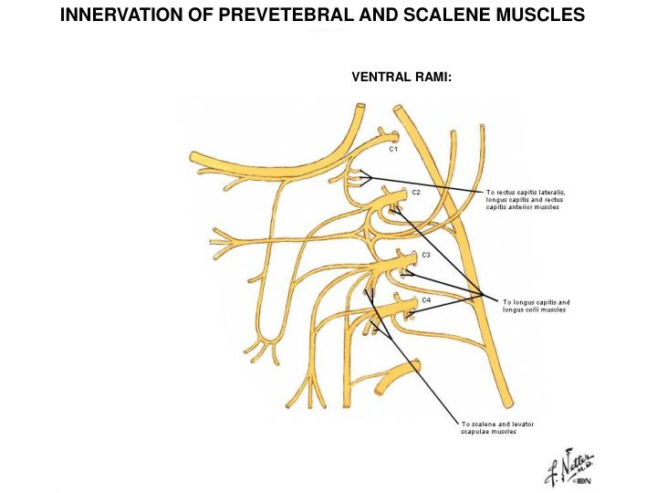 INNERVATION OF PREVETEBRAL AND SCALENE MUSCLES