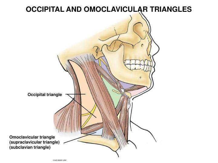 OCCIPITAL AND OMOCLAVICULAR TRIANGLES