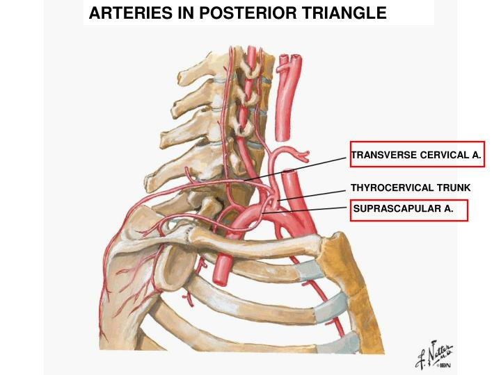 ARTERIES IN POSTERIOR TRIANGLE