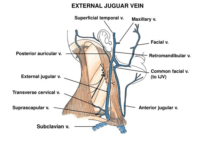 EXTERNAL JUGUAR VEIN
