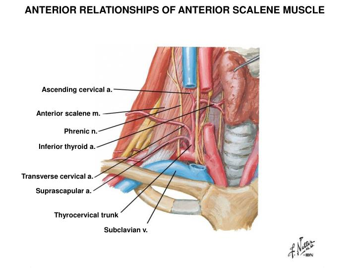 ANTERIOR RELATIONSHIPS OF ANTERIOR SCALENE MUSCLE
