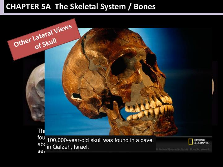 CHAPTER 5A  The Skeletal System / Bones