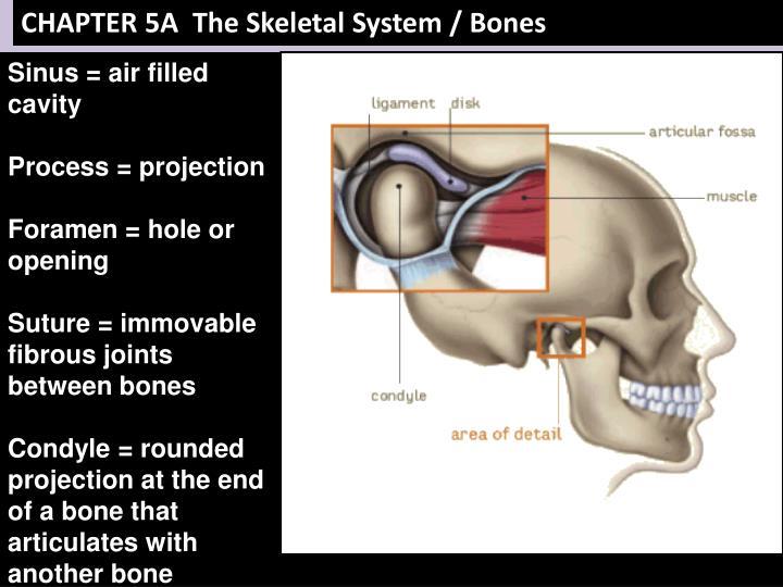 CHAPTER 5A  The Skeletal System / Bones