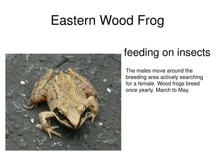 Eastern Wood Frog
