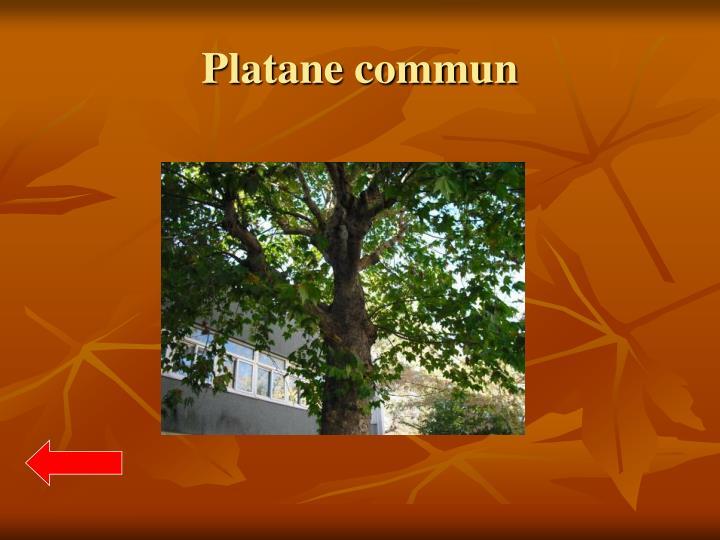 Platane commun