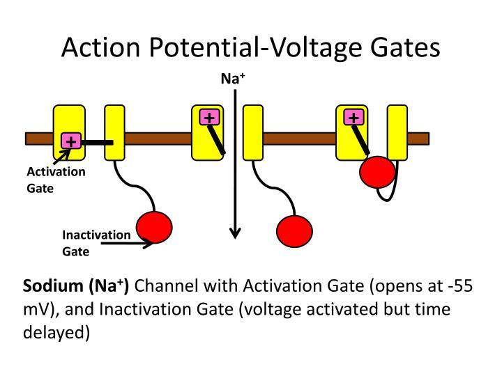 Action Potential-Voltage Gates