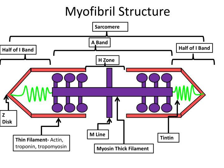 Myofibril Structure