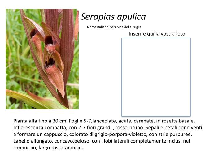 Serapias apulica